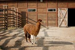 Alpaga marrone di profilo con le gambe anteriori bianche Fotografia Stock Libera da Diritti