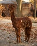 Alpaga marrone lanuginosa divertente Fotografie Stock