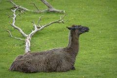 Alpaga marrone pelosa Immagine Stock Libera da Diritti