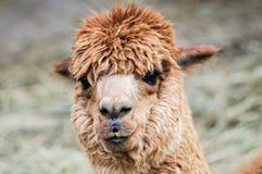 Alpaga marrone sembrante divertente Immagini Stock Libere da Diritti