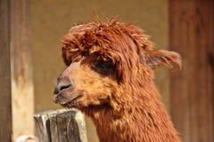 Alpaga marrone sporca Fotografie Stock Libere da Diritti