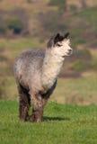 Alpaga maschio su un'azienda agricola in Inghilterra Fotografie Stock