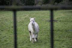 Alpaga nel campo verde che esamina macchina fotografica tramite il portone Fotografia Stock