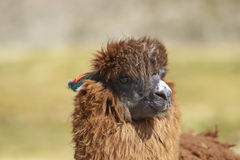 Alpaga nel parco nazionale di Lauca, Cile Immagine Stock