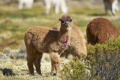 Alpaga nel parco nazionale di Lauca, Cile Immagine Stock Libera da Diritti