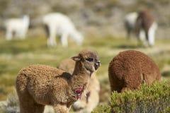 Alpaga nel parco nazionale di Lauca, Cile Fotografia Stock