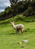 Alpaga nel Perù Fotografie Stock