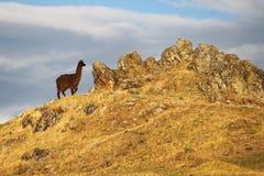 Alpaga nel Perù Fotografie Stock Libere da Diritti