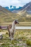 Alpaga nel punto turistico della valle sacra Immagine Stock Libera da Diritti