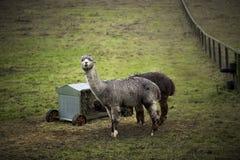 Alpaga nel Regno Unito Fotografie Stock