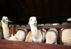 Alpaga nell'azienda agricola Fotografie Stock