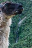 Alpaga nella foresta selvaggia di Inca Trail a Machu Picchu Fotografia Stock Libera da Diritti