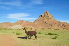 Alpaga nelle Ande Fotografie Stock Libere da Diritti