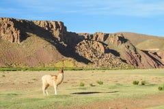 Alpaga nelle montagne Fotografie Stock Libere da Diritti