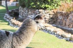 Alpaga nello zoo Fotografia Stock