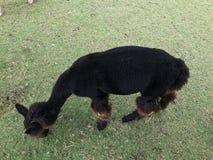 Alpaga nera che mangia erba in zoo aperto Immagine Stock Libera da Diritti