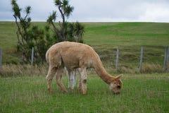 Alpaga, Nowa Zelandia Fotografia Stock
