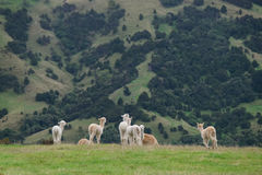 Alpaga, Nowa Zelandia Obrazy Stock