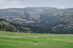 Alpaga, Nowa Zelandia Obrazy Royalty Free