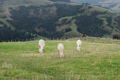Alpaga, Nowa Zelandia Zdjęcie Stock