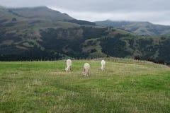 Alpaga, Nowa Zelandia Zdjęcia Royalty Free