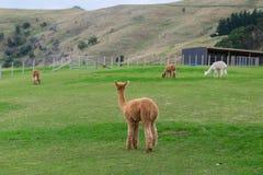 Alpaga, Nuova Zelanda Fotografie Stock Libere da Diritti