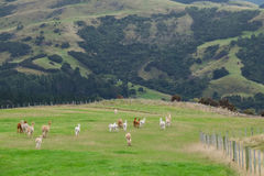 Alpaga, Nuova Zelanda Immagini Stock