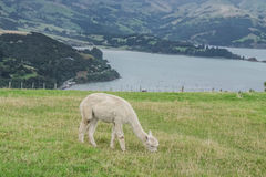 Alpaga, Nuova Zelanda Fotografia Stock