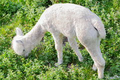 Alpaga o lama Immagine Stock Libera da Diritti