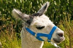 Alpaga, pacos del Vicugna Immagini Stock Libere da Diritti