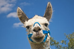 Alpaga, pacos del Vicugna Fotografie Stock Libere da Diritti