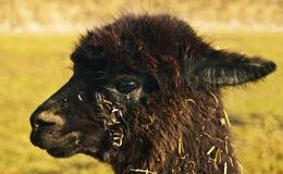 Alpaga, pacos del Vicugna Immagine Stock Libera da Diritti