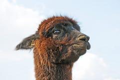 Alpaga, pacos del Vicugna Fotografia Stock Libera da Diritti