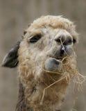 Alpaga - pacos del Vicugna Immagine Stock Libera da Diritti