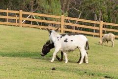 Alpaga, pacos del Vicugna Fotografia Stock