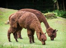 Alpaga (pacos del Vicugna) Immagini Stock