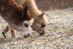 Alpaga (pacos del Vicugna) Fotografie Stock Libere da Diritti