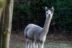 Alpaga (pacos del Vicugna) Immagine Stock Libera da Diritti