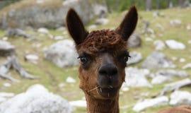 Alpaga (pacos del Vicugna) Immagini Stock Libere da Diritti