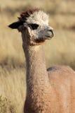 Alpaga (pacos del Vicugna) Fotografia Stock