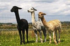Alpaga, pacos della vigogna Fotografie Stock