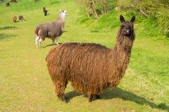 Alpaga pelosa con il cappotto lungo marrone che sta in un campo verde con l'altra alpaca nel fondo Immagine Stock