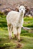 Alpaga, Perù Fotografia Stock