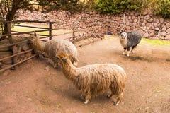 Alpaga peruviana.  Immagine Stock Libera da Diritti