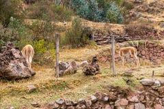 Alpaga peruviana. Immagine Stock