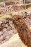 Alpaga peruviana. Azienda agricola del lama, alpaga, vigogna nel Perù, Sudamerica. Animale andino Fotografie Stock Libere da Diritti