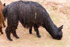 Alpaga peruviana. Azienda agricola del lama, alpaga, vigogna nel Perù, Sudamerica. Animale andino. Fotografia Stock