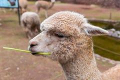 Alpaga peruviana. Azienda agricola del lama, alpaga, vigogna nel Perù, Sudamerica. Animale andino. Immagine Stock Libera da Diritti