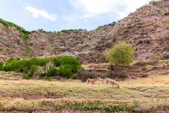Alpaga peruviana. Azienda agricola del lama, alpaga, vigogna nel Perù, Sudamerica. Animale andino Fotografia Stock