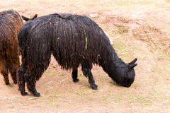 Alpaga peruviana. Azienda agricola del lama, alpaga, vigogna nel Perù, Sudamerica. Animale andino. L'alpaga è del sud Fotografia Stock